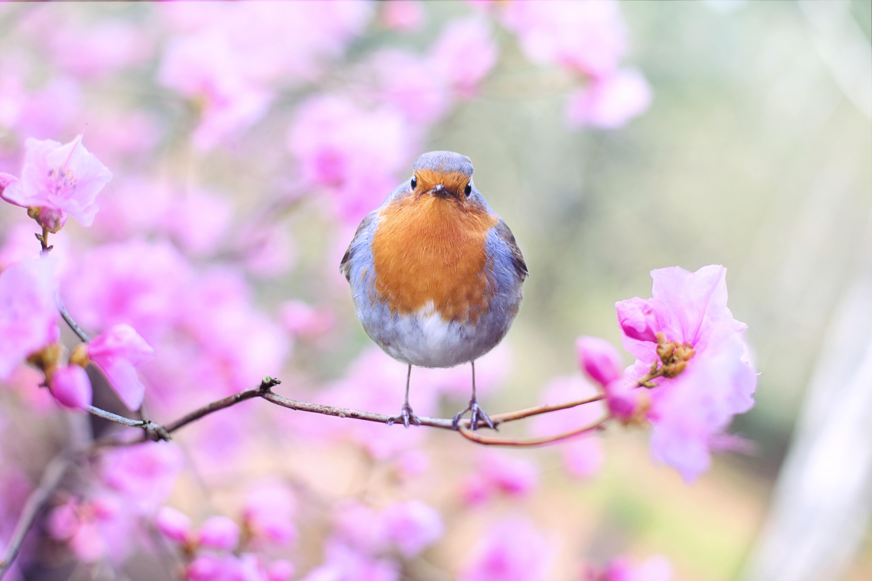 桜の木に鳥がとまっている画像