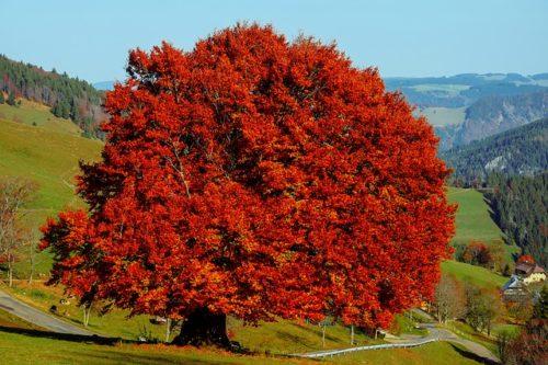 真っ赤に紅葉した木の画像