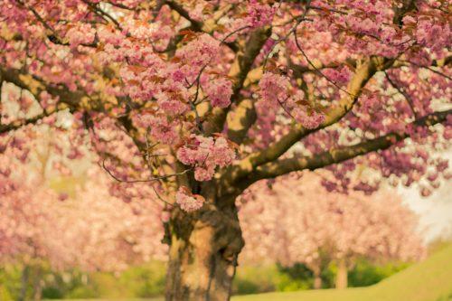 一本の桜の木を写した画像