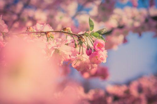 桜の木の枝のアップ画像