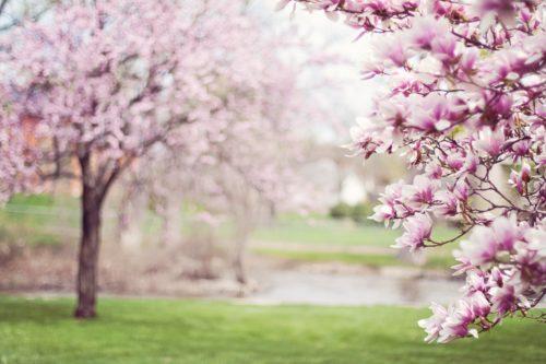 桜の木がある公園の画像